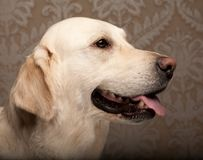 Golden retriever dog photographed at home. Beautiful golden retriever dog photographed at homerr stock photo