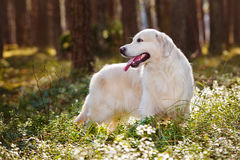 Beautiful golden retriever dog standing in the forest Royalty Free Stock Image