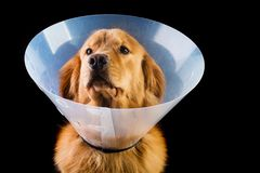 Golden Retriver wearing cone of shame Stock Photography