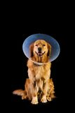 Golden Retriver wearing cone of shame Royalty Free Stock Image
