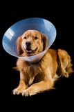 Golden Retriver wearing cone of shame Stock Images