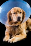 Golden Retriver wearing cone of shame Stock Photo