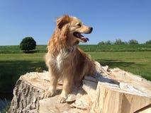 Golden retriever mix on the tree stump locks around. Beautiful Golden Retriever mix is sitting on the stump locks around - wonderful blue sky and nature Royalty Free Stock Images