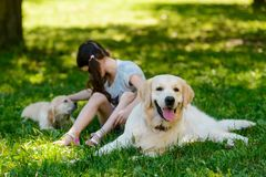 Beautiful golden retriever mother dog stock image