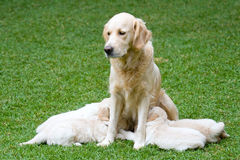 Beautiful Golden Retriever puppies nursing Royalty Free Stock Photos