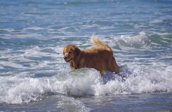 Beautiful golden retriever pushes through the surf at dog beach royalty free stock photo