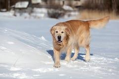 Beautiful golden retriever running on snow Stock Photo