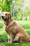 Beautiful Golden Retriever sitting in the park Royalty Free Stock Photos