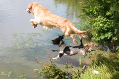 A beautiful golden retriever and springer spaniel pet gundog jumping into water Stock Photos