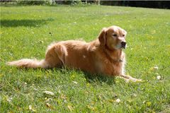 Beautiful Golden Retriever on a Sunny Day Stock Photography