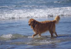 Beautiful golden retriever walking in the surf at dog beach stock image