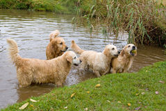 Beautiful Golden Retrievers swimming Royalty Free Stock Photography