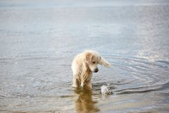 Happy labrador enjoy playing on beach with owner. Pet concept. Royalty Free Stock Photography