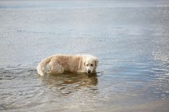Happy labrador enjoy playing on beach with owner. Pet concept. Stock Images