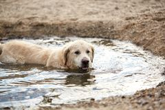 Happy labrador enjoy playing on beach with owner. Royalty Free Stock Photo