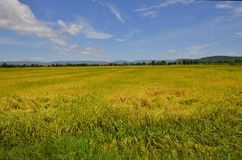 Beautiful golden rice field with trees and mountain background under blue sky. Beautiful golden rice field with trees and mountain background under white clouds Royalty Free Stock Image