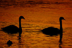 Beautiful golden sunset with swan Royalty Free Stock Image