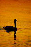 Beautiful golden sunset with swan Stock Images