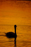 Beautiful golden sunset with swan Royalty Free Stock Images