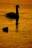 Beautiful golden sunset with swan Stock Photography