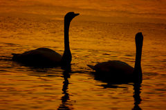 Beautiful golden sunset with swan Royalty Free Stock Photography