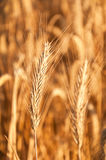 Beautiful golden wheat. As background Stock Photography