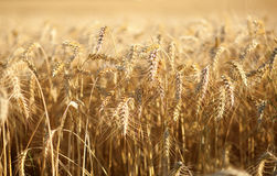 Beautiful golden wheat spikes Stock Photo