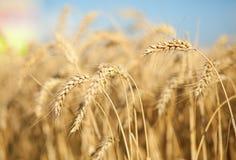 Beautiful golden wheat spikes Royalty Free Stock Photos
