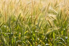 Beautiful Golden Wheat spikes Wheat field Nepal royalty free stock photos