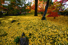 Beautiful golden yellow ginkgo leaves fallen on green grass during autumn in Kyoto, Japan Stock Photo
