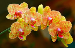 Beautiful golden yellow phalaenopsis orchids Royalty Free Stock Photos