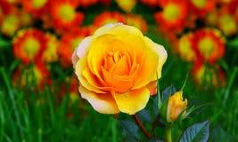 Beautiful golden yellow rose and bud Stock Photo