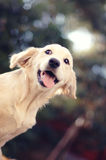 Beautiful golden young golden retriеver Royalty Free Stock Photos