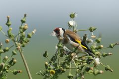 A beautiful Goldfinch Carduelis carduelis feeding on the seeds of a wild plant. stock photos