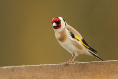 A beautiful Goldfinch Carduelis carduelis perched on a wooden fence. royalty free stock photos