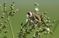 A beautiful Goldfinch Carduelis carduelis feeding on the seeds of a wild plant. royalty free stock photo