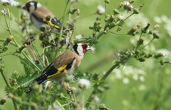 A beautiful Goldfinch Carduelis carduelis feeding on the seeds of a wild plant. stock image
