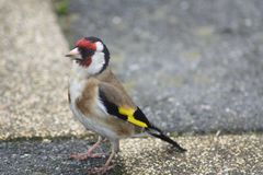 A beautiful goldfinch cought on camera stock photo