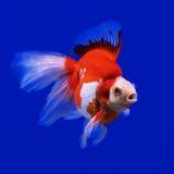 Beautiful goldfish Stock Image