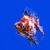 Beautiful goldfish Royalty Free Stock Photo