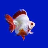 Beautiful goldfish Royalty Free Stock Photos