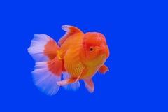 Beautiful goldfish Stock Photo