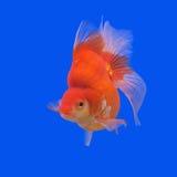 Beautiful goldfish Stock Photography