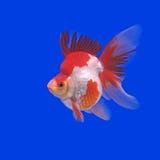 Beautiful goldfish Royalty Free Stock Photo