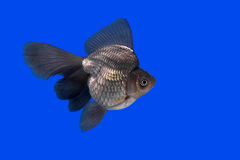Beautiful goldfish Royalty Free Stock Photography