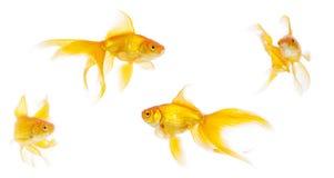 Beautiful goldfish swimming stock photography