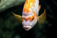 Beautiful goldfish stock photos