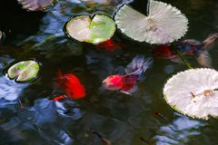 Beautiful goldfishes swimming in pond stock photos