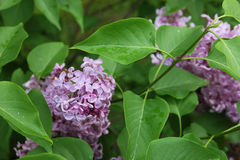 Beautiful good bunch of purple lilac flower among green leaves c Royalty Free Stock Photos