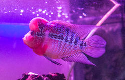 Beautiful good color Flowerhorn cichlid fish at water tank with blue background. Beautiful good color Flowerhorn cichlid fish at water tank stock images